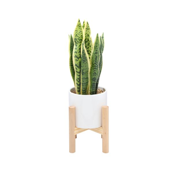 Picture of OLAF Plant in pot w/stand D23x50 WT/GN